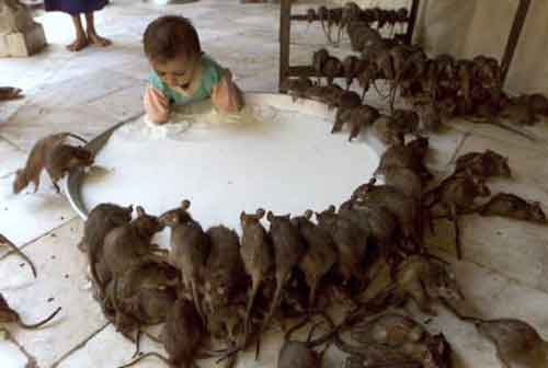 karni mata rats temple