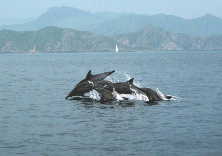 dolphins in mochima